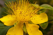 St Johns Wort, Hypericum perforatum, Close up of yellow flower growing outdooor showing stamen.