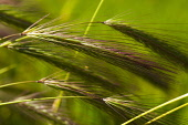 Wheat, Close up detail of green crop growing outdoor.
