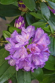 Rhododendron, Mountain rosebay, Rhododendron catawbiense, Close up image of purple flowers and buds growing outdoor.