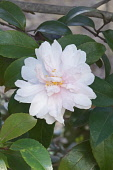 Camellia, Camellia 'Jean May', Camellia sasanqua 'Jean May', Delicate pink coloured flower growing outdoor.