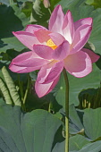 Lotus, Sacred lotus, Nelumbo nucifera, Close up of pink coloured flower growing outdoor.