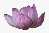Lotus, Sacred lotus, Nelumbo nucifera, Close up of pink coloured flower cut out from its background.