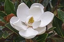 Magnolia, Magnolia Bull bay, Magnolia grandiflora, Close up of white flower growing outdoor.