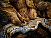 Gnarled exposed roots of Bristlecone Pine Tree, Ancient Bristlecone Pine Forest, Inyo county, California, USA.