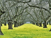 Old walnut orchard with yellow legume ground cover. Near Colusa, California, USA.