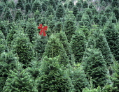 Grand fir Christmas trees with red bow on one, Oregon, USA.