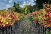 Rows of autumnal coloured grape vines, Vineyards of Napa Valley, California, USA
