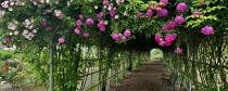 Tunnel through climbing roses, Heirloom Gardens. St Paul, Oregon, USA.
