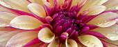 Dahlia, Gitts Crazy, Close up of flower showing pattern and water droplets.