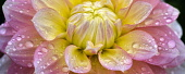 Dahlia, Peaches and Dreams, Close up showing pattern and water droplets.