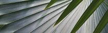 Palm, Bizmarkia Palm, Close up showing detailed pattern, St John, Virgin Islands.