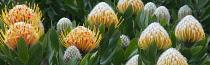 Protea, Peach coloured flowers growing outdoor, Big Sur coast, California, USA.