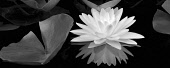 Liliy, White water lily and reflection.