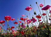 Poppy, Papaver, View from ground up at red coloured flowers against blue sky.