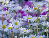 Chrysanthemum, Wild daisies, Chrysanthemum leucanthemum, Mass of white coloured flowers growing outdoor.