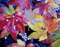 Maple, Vine Maple, acer circinatum, and Blue Elderberry, sambucus caerulea,  berries, Alsea River, Oregon, USA.