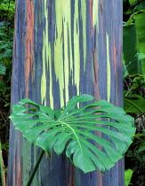 Painted Eucalyptus tree with leaf of philodendron, Keanae Arboretum, Maui, Hawaii, USA.