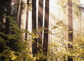 Trees in fog with sun streams, Willamette National Forest, Aufderheide National Scenic Byway, Oregon, USA.