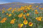 Poppy, California poppies, Eshscholtzia californica, Antelope Valley Poppy Preserve, California, USA.
