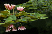 Lily, Water Lily, Three pink flowers reflected in pond.