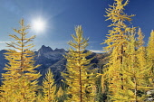 Tamarack or larch in autumnal color,  North Cascades National Park, Washington, USA.