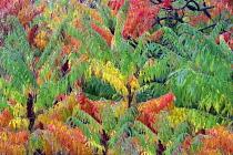 Sumac, Cutleaf Sumac, Rhus glabra 'Laciniata', in autumnal colours, Hoyt Arboretum, Portland, Oregon, USA.