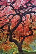 Japanese Maple tree in autumnal colours,  Portland Japanese Gardens, Oregon, USA.