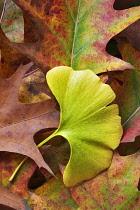 Ginko, Maidenhair tree, Gingko biloba, Single gree leaf among autumnal oak leaves, Wilsonville, Oregon, USA.