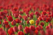 Tulip, Tulipa, Single yellow flower among field of red ones.