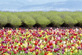 Tulip, Tulipa, Mixed flowers and fruit orchard in spring, Woodburn, Oregon, USA.