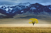 Lone tree in autumnal colour in vast pasture, Montana, USA.