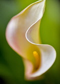 Lily, Lilium, Aruba California Callas, sp Zantedeschia, close up against green background.