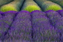 Lavender, Lavandula, Rows of purple flowers.