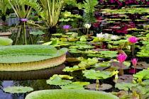 Tropical water lilies, Hughes water gardens, Oregon, USA.