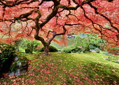 Japanese Maple tree in autumnal colours, Portland Japanese Gardens, Oregon, USA.