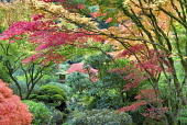 Japanese maple, Sculpture and autumnal colours at Portland Japanese Garden, Oregon, USA.
