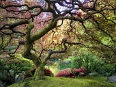 Japanese Maple tree with new growth, Portland Japanese Garden, Oregon, USA.