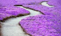 Purple ice plant blossoms and path, Pacific Grove, California, USA.