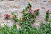 Rose, Rosa, Pink flowers growing on wall.