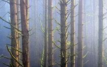 Sitka Spruce trees in fog, Samuel H Boardman State Scenic Corridor, Oregon, USA.