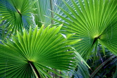 Close up of palm leaves, St Thomas, US Virgin Islands.