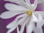 Magnolia, Magnolia stellata 'Royal Star', Close up of white flower against purple background.