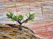 Bonsai ponderosa pine tree struggling to survive and Cherboard Mesa,  Zion National Park, Utah, USA.