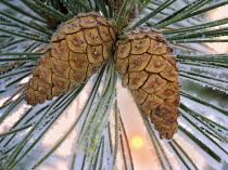 Hoarfrost on pine tree, Oregon, USA.