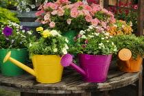 Various garden flowers growing in watering can display.