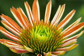 Close up of Sombrero Adobe Orange, Echinacea flower.