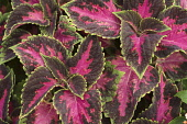 Close up of variegated Coleus leaves.