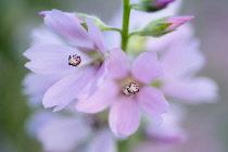 Close up of Checker Mallow, Sidalcea organa, Graham Oaks Nature Parks, Oregon, USA.