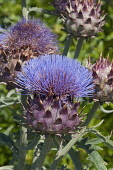 Cardoon, Cynara cardunculus, Blue coloured Artichoke thistle growing outdoor.