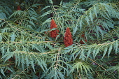 Sumac, Cut-leaf staghorn sumac, Rhus tpphina, Plant with red berries growing oputdoor.